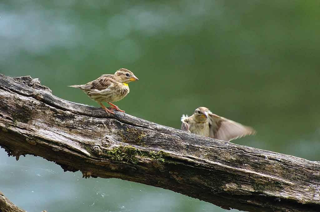 rock sparrow in the Marais poitevin regional nature Park