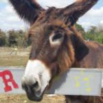 Poitou Donkey in the Marais poitevin régional nature park