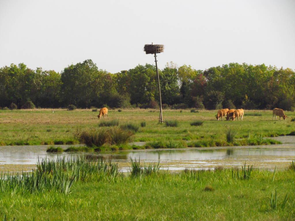 Vaches dans un marais communal, l'un des paysagegs du Parc naturel régional du Marais poitevin