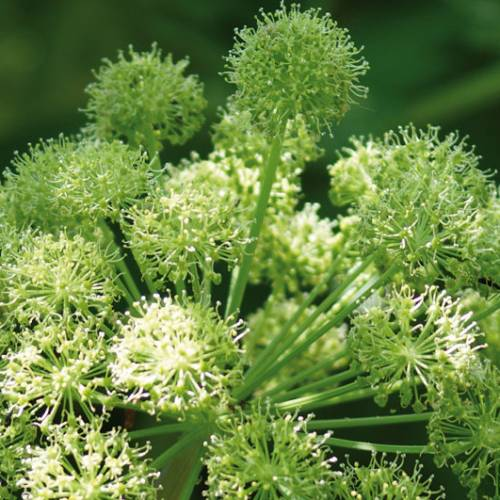 About the Angelica