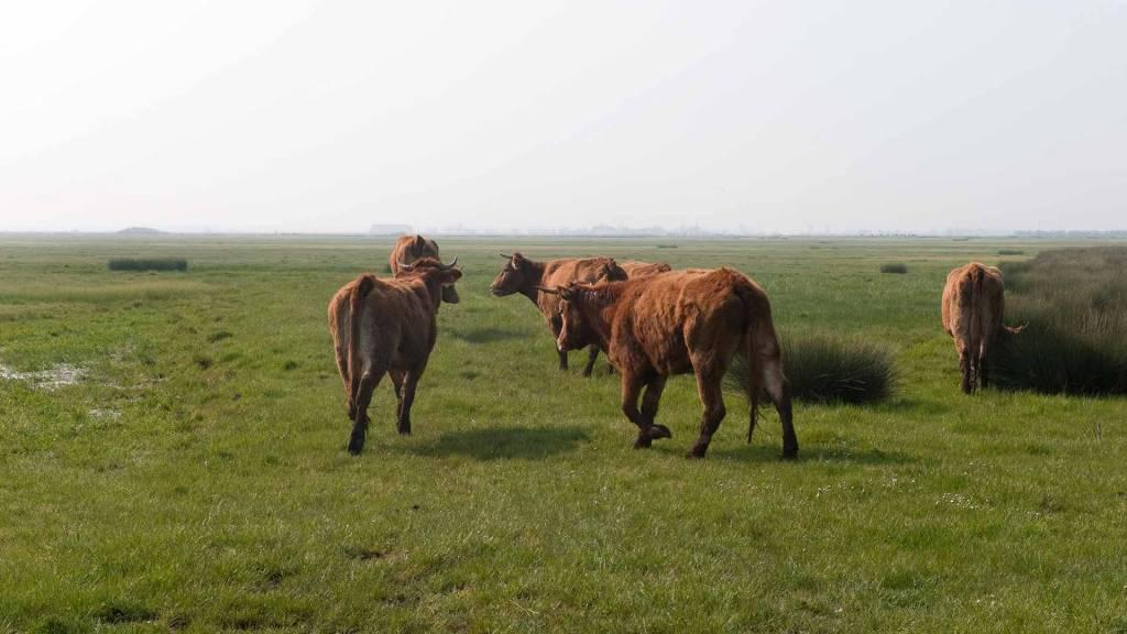 Le marais communal au Marais poitevin - Vaches dans un marais communal