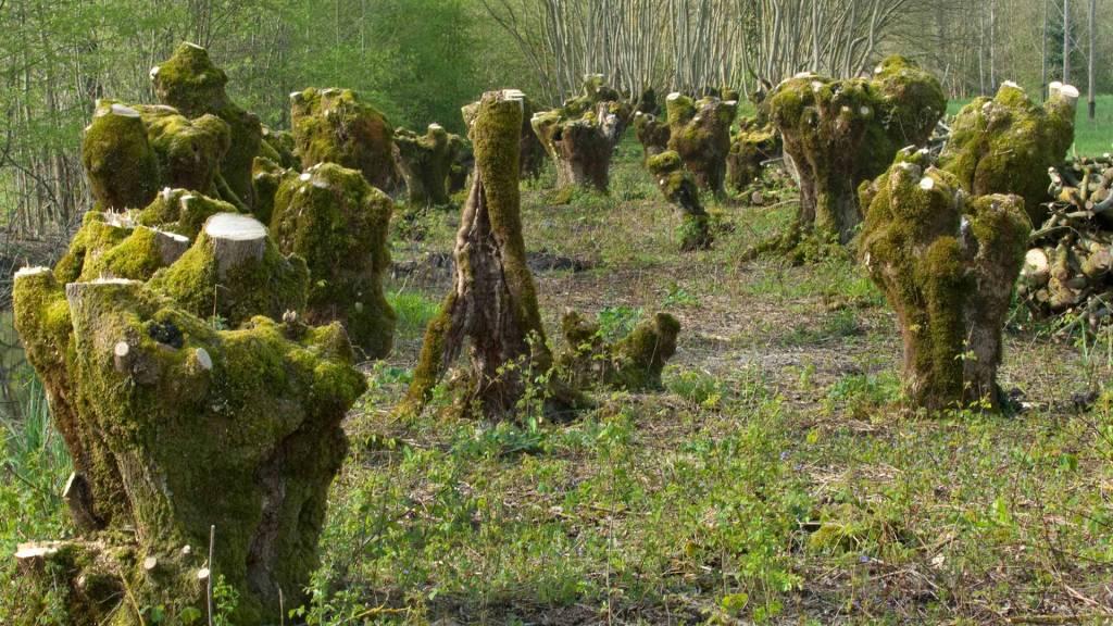 Frênes tétards étêtes dans une terrée du Marais poitevin
