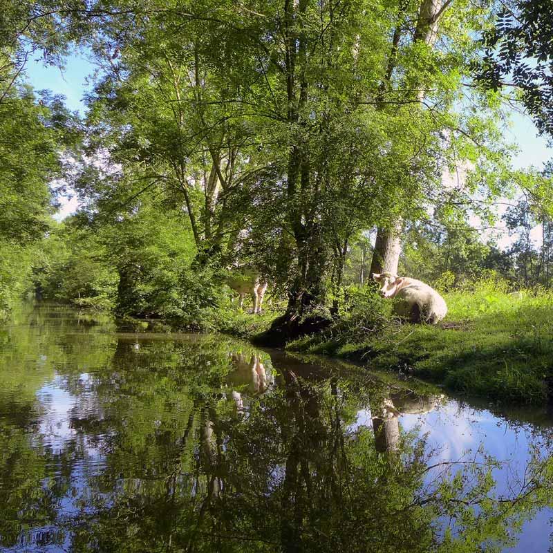 Vache au bord de l'eau dans le marais poitevin