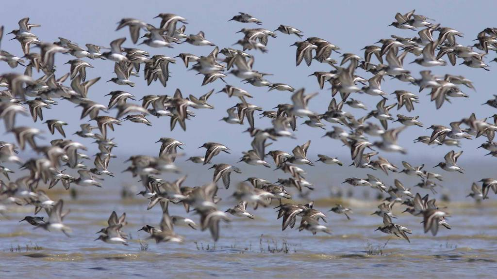 Observer les oiseaux migrateurs dans le Marais poitevin