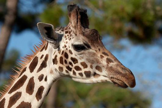 Zoo de la Palmyre, l'un des parcs zoologiques les plus renommés d'Europe : 18 hectares et 115 espèces différentes. Ouvert toute l'année.