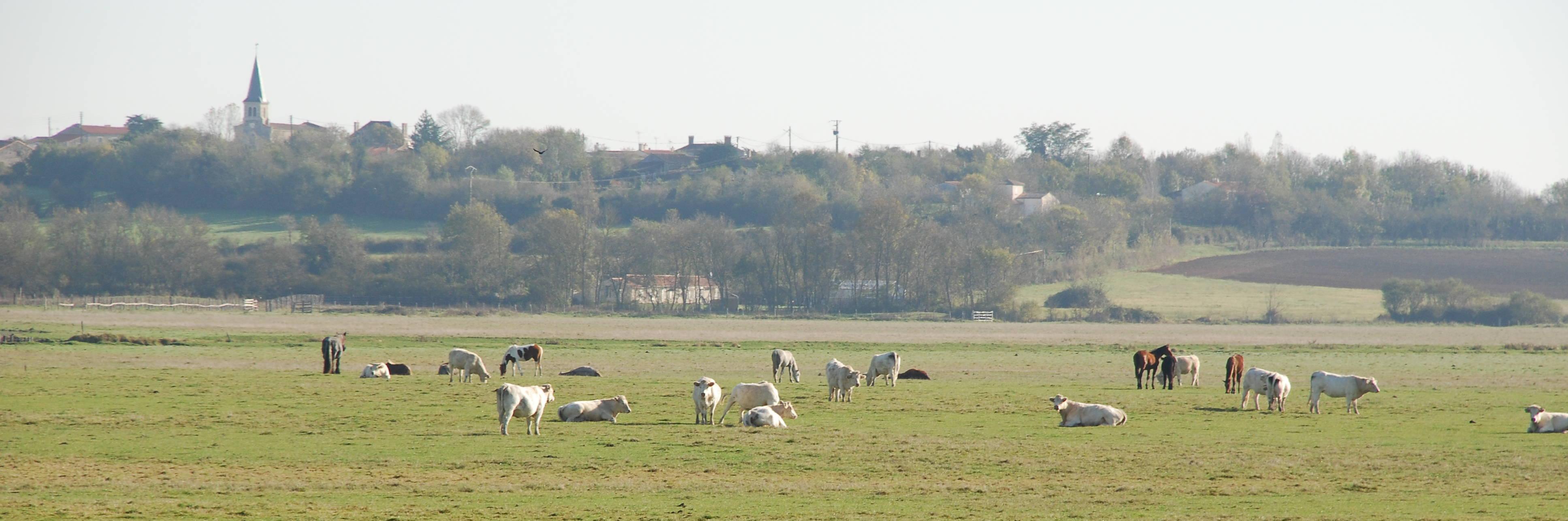 "The brand ""Valeurs Parc Naturel Régional"" for beef meat in the Marais poitevin"
