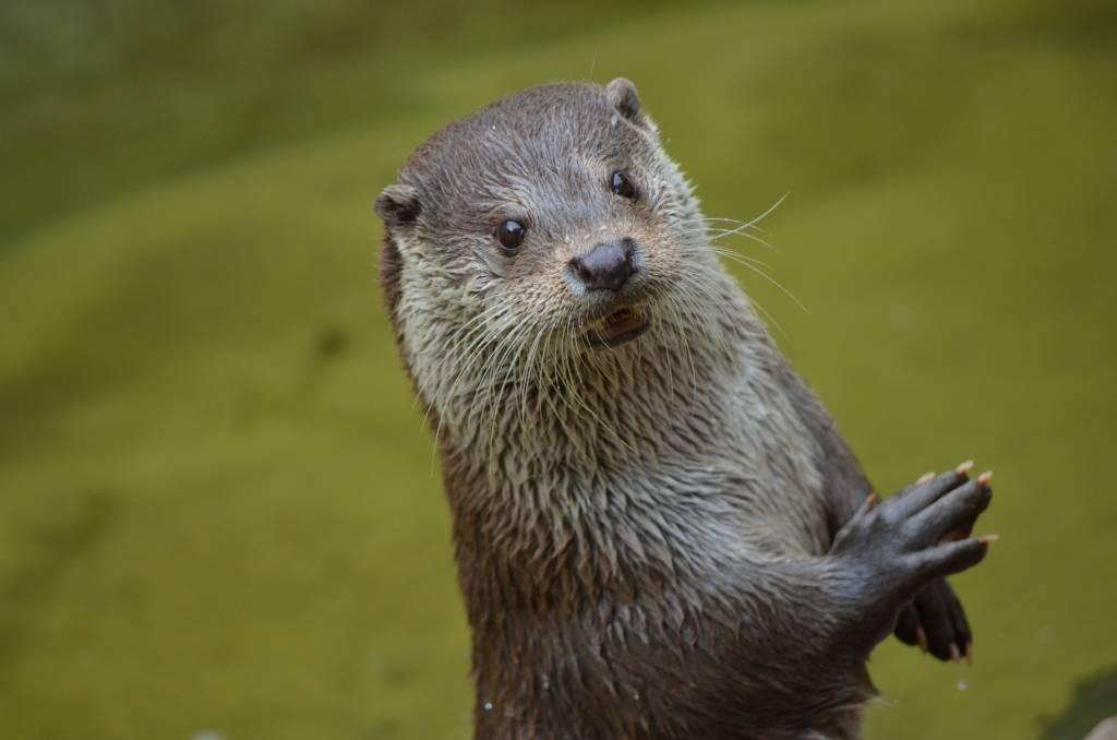 Une loutre, animal emblématique du marais poitevin.
