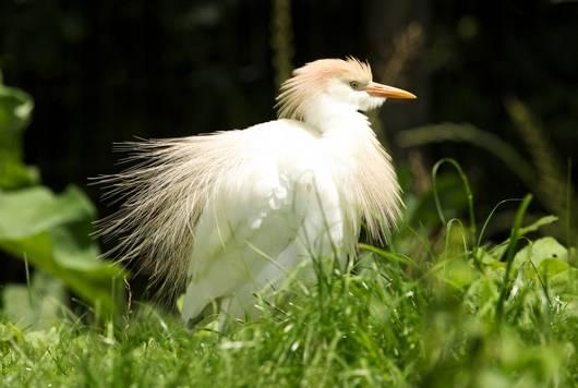 Héron Garde-boeuf dans le parc ornithologique les oiseaux du Marais poitevin - Saint-Hilaire-la-Palud, commune du Parc naturel régional du Marais poitevin