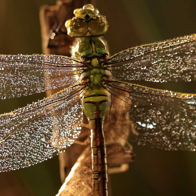 Une libellule, espèce représentée dans le Marais poitevin