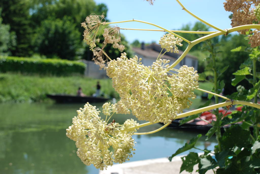 Angélica, iconic plant of the Marais poitevin